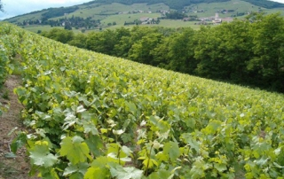 Marcel Joubert's vines on the Côte du Py, Morgon (Beaujolais)